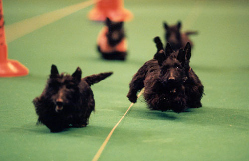 Tricky Tykes Terrier racing- high res.jpg